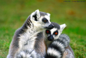 Lemurs are found only in Madagascar