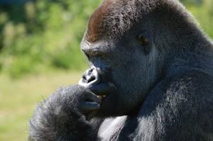 Image credit: Gorilla taken by Dazyg under Public Domain.