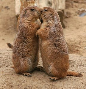 Kissing Prairie Dog Day Translations Communicating