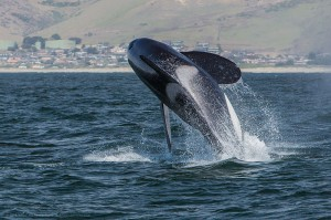 Image credit: Orca, Killer Whale, breaching taken by Mike Baird In under Public Domain.