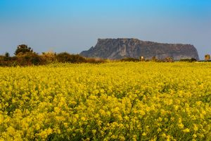 full bloom canola flowers at Seongsan Ilchulbong Jeju South Korea