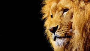 lion-from-side