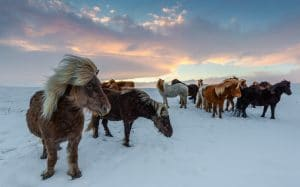 iceland-horses-in-snow